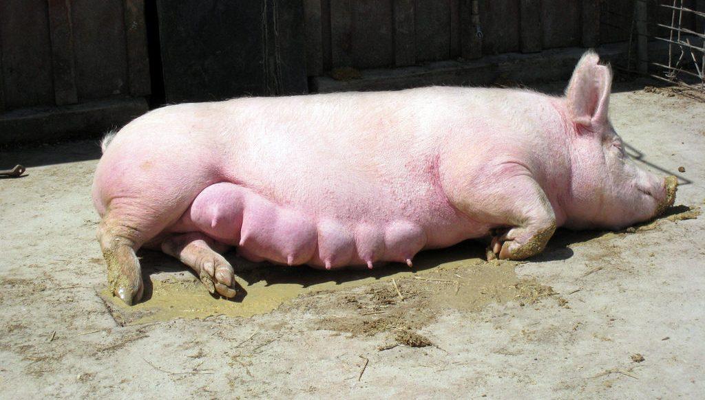 Беременность у свиней продолжительность