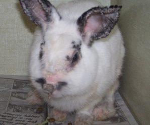 Лишай у кроликов: как успешно вылечить животное и не заразиться самому