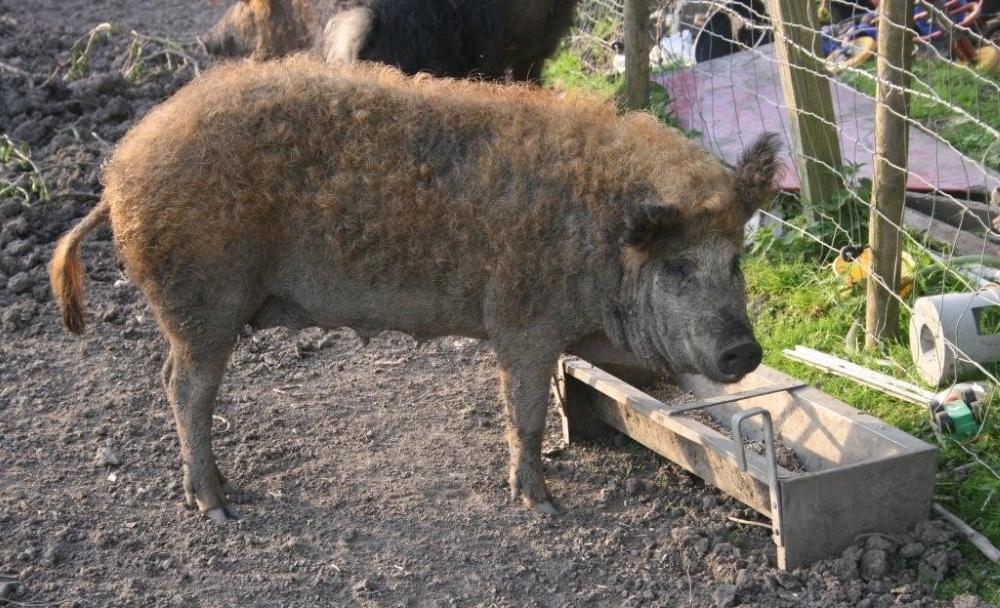 Свинья у кормушки
