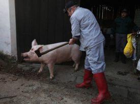 Подготовка к оглушению свиньи