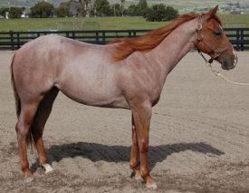 Рыже-чалая лошадь