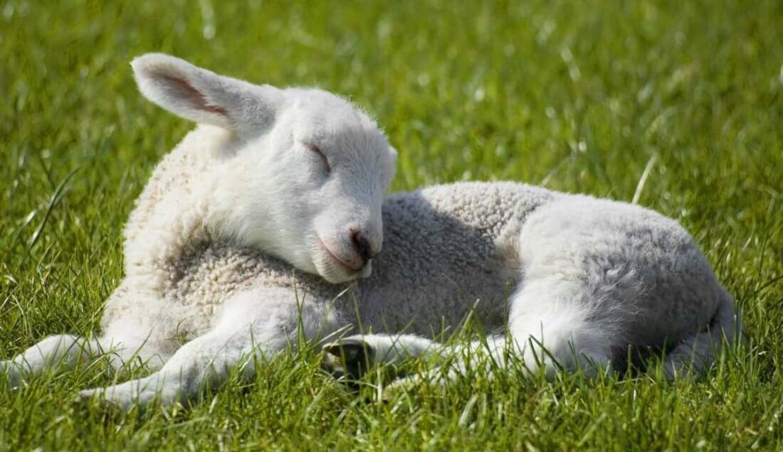 Ценуроз овец