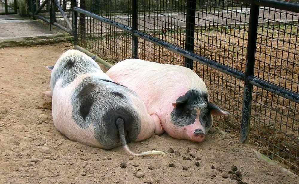 Две свиньи