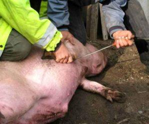 Как зарезать свинью самостоятельно: все секреты и тонкости забоя