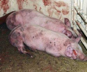 Пастереллез у поросят — смертельная инфекция, поражающая молодняк свиней
