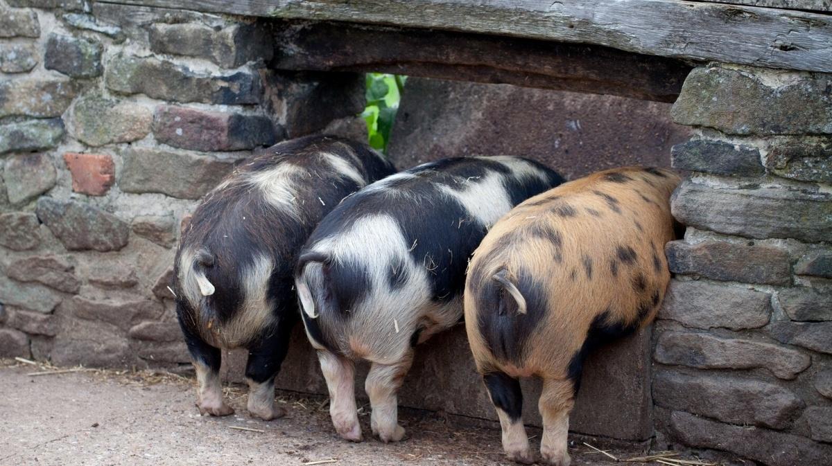 Как определить вес свиньи