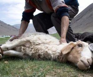 Как зарезать барана и разделать тушу: советы начинающим овцеводам