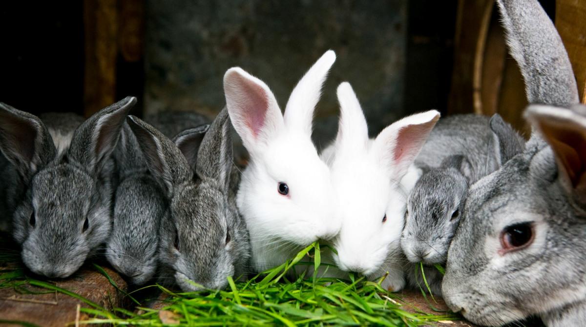 Можно ли давать кроликам свеклу