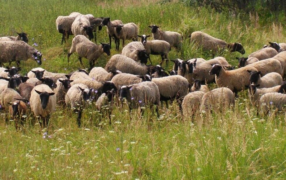 Овцы пасутся
