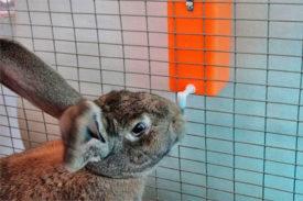 Кролик пьет