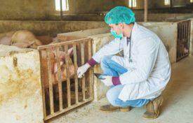 Ветеринар около свиньи