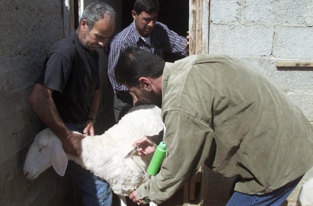 Вакцинация овцы