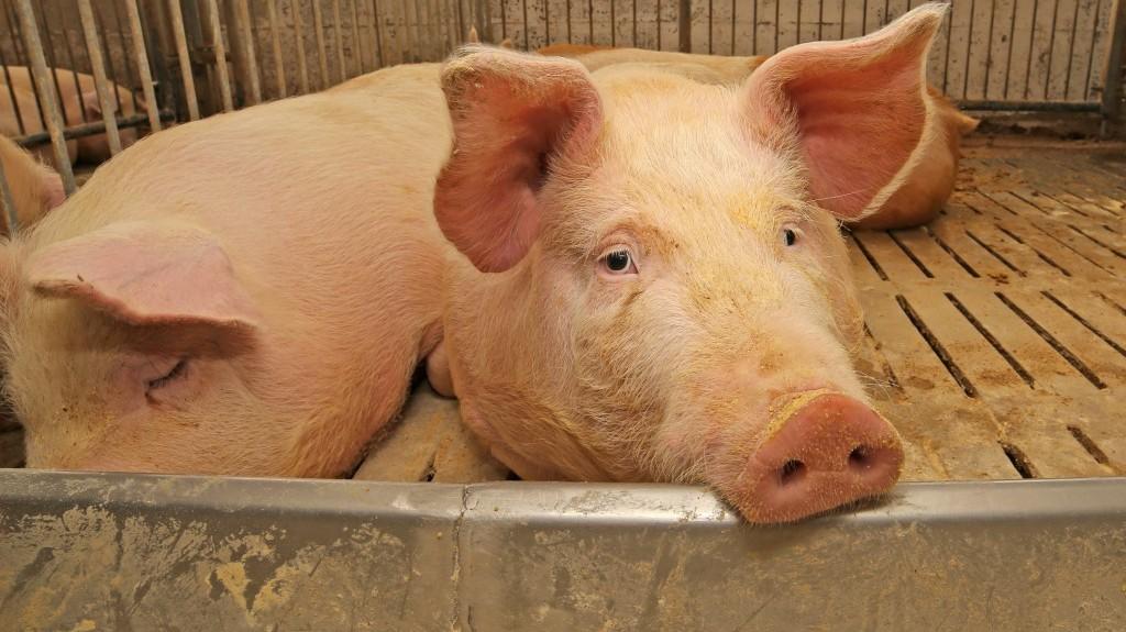 Аскаридоз у свиней
