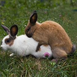 Спаривание кроликов в домашних условиях: инструкция для начинающих фермеров