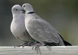 Породы диких голубей