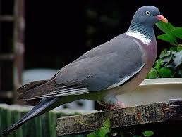 Кормление домашних голубей