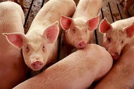 Как очень быстро откормить свинью?