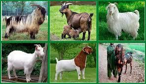 Популярные молочные породы коз