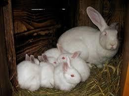 Кролик белый великан — описание породы