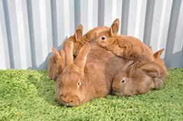 Размножение и разведение породы кроликов новозеландский красный