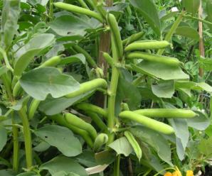 Бобы: выращивание и уход в открытом грунте