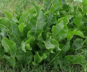 Выращивание хрена в домашних условиях: основные аспекты, способы, советы