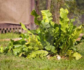 Как посадить хрен: технология высадки в грунт