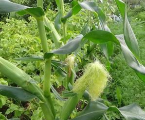 Когда сажать кукурузу в открытый грунт