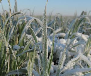Листовая подкормка озимой пшеницы весной карбамидом