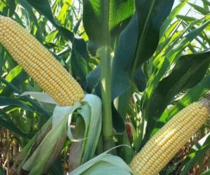 Самые популярные сахарные и кормовые сорта кукурузы