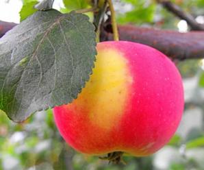 Когда и как привить яблоню