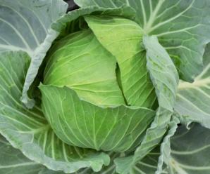 Капуста Атрия: описание сорта, фото, преимущества и недостатки, особенности выращивания