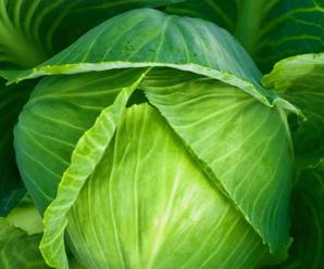 Капуста Белорусская: описание сорта, фото, преимущества, правила выращивания