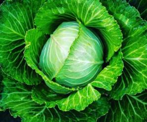 Капуста белокочанная: особенности выращивания, краткая характеристика, посадка и уход