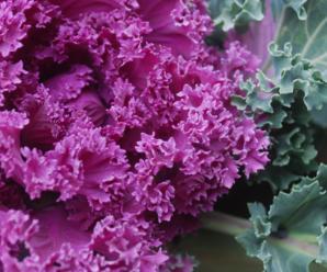 Капуста Кале: фото, выращивание, особенности