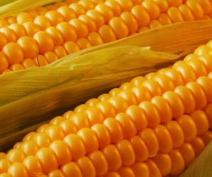 Как сажать кукурузу в открытый грунт семенами