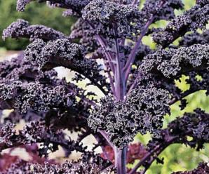 Капуста Кейл: особенности вида, основные сорта, условия выращивания