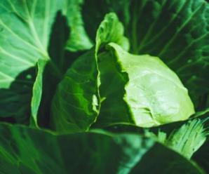 Капуста Парел: особенности сорта, как выращивать и ухаживать