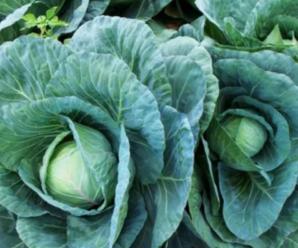 Капуста Ринда: описание сорта, особенности выращивания