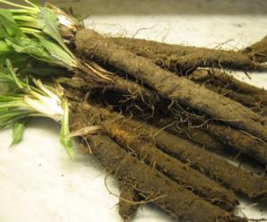 Скорцонера выращивание из семян