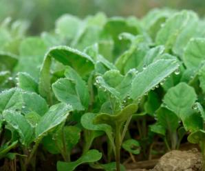 Посев белокочанной капусты и уход за рассадой