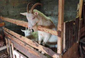 Коза в сарае