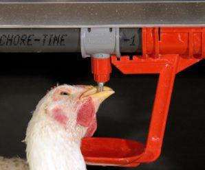 Практичные идеи создания поилок для домашней птицы