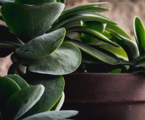Уют и польза без хлопот: топ-пять неприхотливых горшечных растений